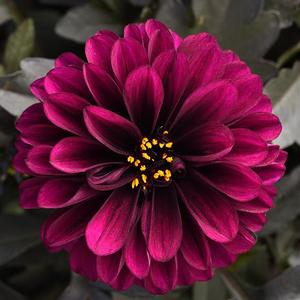 Dahlia City Lights Purple