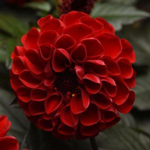 Dahlia City Lights Red