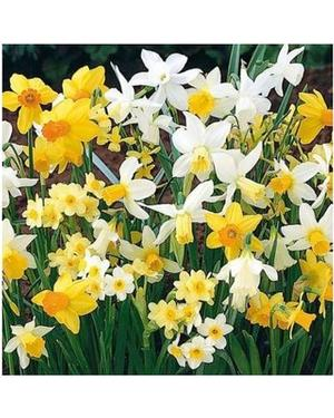 Narcissus Rock Garden Mix