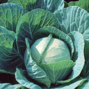 Cabbage Farao