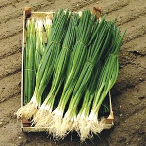Scallion Parade - bunching