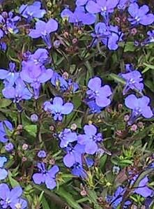 Lobelia Crystal Palace - dark blue