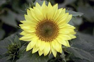 Sunflower Pacino Lemon - short