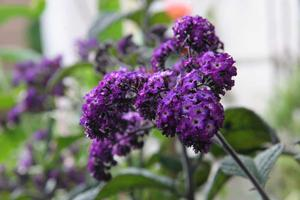 Heliotrope Purple