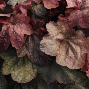Heuchera Carnival Candy Apple