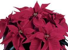 Poinsettia 'Orion' Early Red