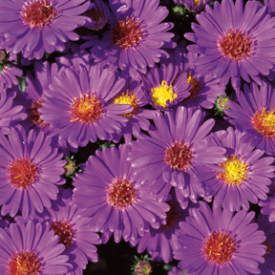 Aster 'Purple Single'
