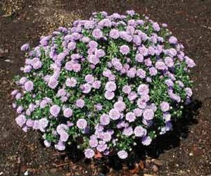 Aster 'Light Blue Single'