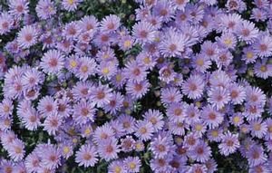 Aster 'Blue Single'