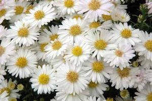 Aster 'White Single'