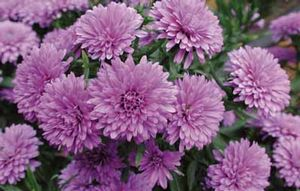 Aster 'Purple Double'