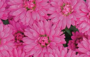 Aster 'Marie III' double pink