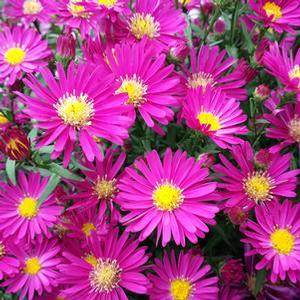 Aster 'Raspberry Single'