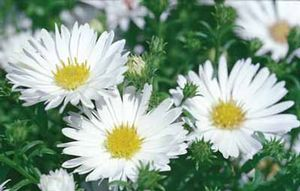 Aster 'Puff' white