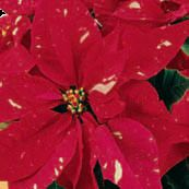 Poinsettia Jingle