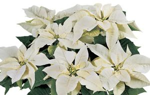 Poinsettia 'Whitestar'