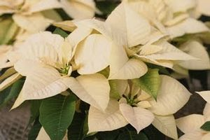 Poinsettia 'Premium White'