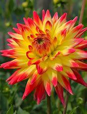 Dahlia Bridge View Aloha - yellow & red