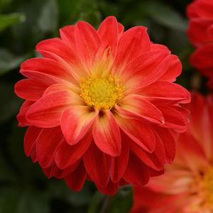 Dahlia Dalaya Red + Yellow Eye