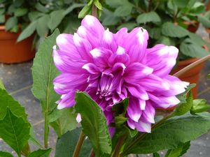 Dahlia Mystery Day purple with white tips