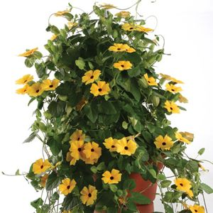 Thunbergia Charles Star - yellow