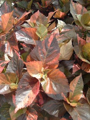 Acalypha 'Beyond Paradise' coral green
