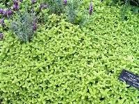 Origanum Golden