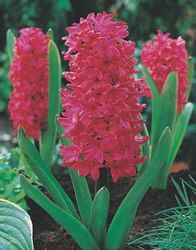 Hyacinth 'Jan Bos' red