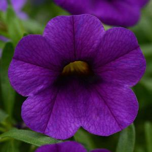 Calibrachoa Conga Dark Blue