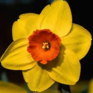 Narcissus Monal yellow orange