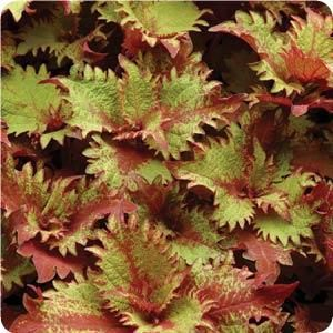 Coleus Henna - copper