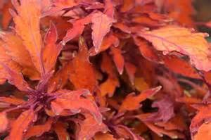 Coleus Flame Thrower Habenero