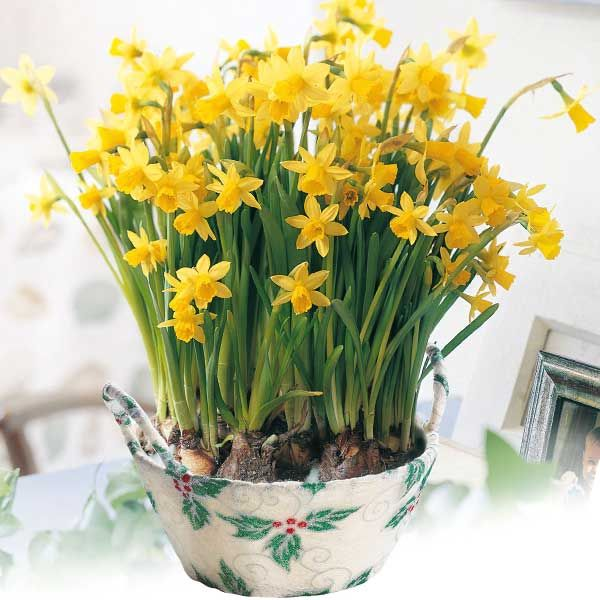 Narcissus Tete a Tete - yellow
