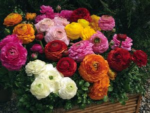 Ranunculus 'Magic mix'